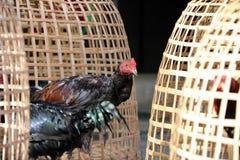 Support noir de coq près de cage de poulet et d'entaille thaïlandaises de filet C'est coq de combat, un coq multiplié et qualifié image stock