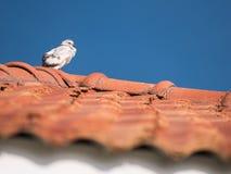 Support noir mélangé blanc de pigeon pelucheux sur le toit Images libres de droits