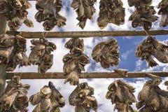 Support pour sécher le stockfisch chez Lofoten image stock