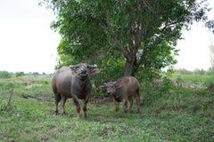 Support près de buffle d'éleveur chacun des deux de buffle de veau se tenant regardants Photographie stock libre de droits
