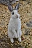 Supporti bianchi di un coniglio fino allo sguardo alla macchina fotografica Immagine Stock