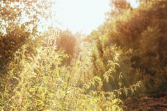 Supporti dell'ortica con i fiori nel tramonto fotografia stock