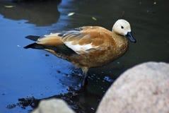 Supporto arancio dell'uccello in acqua blu Fotografia Stock