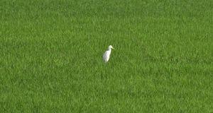 Supporto bianco dell'egretta da solo nel giacimento verde del riso per fondo Immagine Stock Libera da Diritti