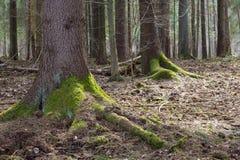 Supporto conifero degli alberi attillati Fotografia Stock