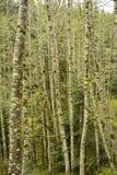 Supporto degli alberi di betulla Fotografia Stock