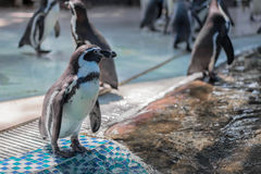 Supporto dei pinguini sulle mattonelle Immagini Stock