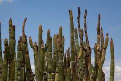Supporto del cactus della canna d'organo Fotografie Stock Libere da Diritti