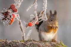 Supporto del ghiaccio dello scoiattolo Fotografia Stock