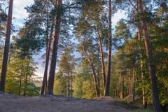 Supporto del pino sull'alta banca del fiume Fotografia Stock Libera da Diritti