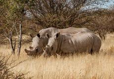 Supporto del rinoceronte bianco due insieme in breve erba asciutta fotografia stock
