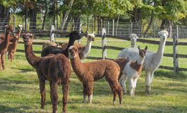 Supporto dell'alpaca in pascolo Fotografia Stock