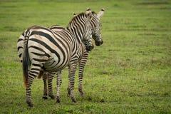 Supporto della zebra di due pianure parallelamente sulla savana Immagine Stock