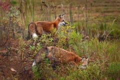 Supporto di vulpes di vulpes di Fox rosso due sull'isola Immagine Stock