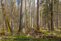 Supporto fresco della foresta di Bialowieza in primavera Immagini Stock