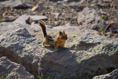 Supporto Rainier Ground Squirrel Fotografia Stock Libera da Diritti