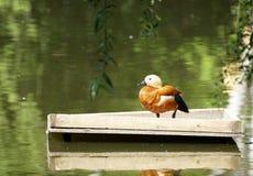 Supporto rosso selvaggio dell'anatra su una piattaforma di legno accanto alla riva del lago Fotografia Stock