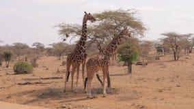 Supporto selvaggio africano delle giraffe vicino all'albero asciutto in Savannah With una terra rossa stock footage