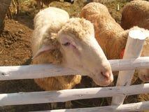 Supporto sveglio delle pecore bianche nella stalla Fotografie Stock Libere da Diritti