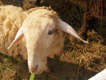 Supporto sveglio delle pecore bianche nella stalla Immagine Stock Libera da Diritti