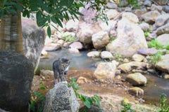 Supporto tailandese del piccolo gatto sulle rocce Fotografia Stock Libera da Diritti