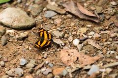 Supporto variopinto della farfalla da solo su terra nella foresta Fotografia Stock Libera da Diritti