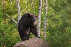 Supports américanus femelles adultes d'Ursus d'ours noir sur la roche Lookin image libre de droits