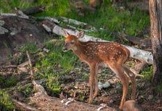 Supports Blanc-coupés la queue de cerfs communs (virginianus d'Odocoileus) Images libres de droits