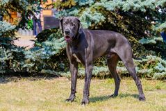 Supports de great dane Images libres de droits