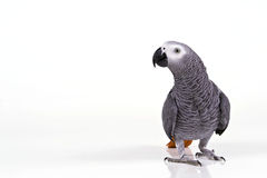 Supprised parrot Stock Image