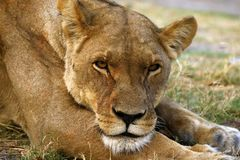 Superb Adult female lion leads the pride. Supreme African wildlife at it`s best in the savanna of Botswana, a pride of lions are the top predators royalty free stock images