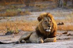 Superb Adult male lion leads the pride. Supreme African wildlife at it`s best in the savanna of Botswana, a pride of lions are the top predators stock photography