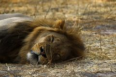 Superb Adult male lion leads the pride. Supreme African wildlife at it`s best in the savanna of Botswana, a pride of lions are the top predators stock images