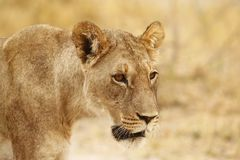 Superb young sub adult male lion ready to leave the pride. Supreme African wildlife at it`s best in the savanna of Botswana, a pride of lions are the top stock photography