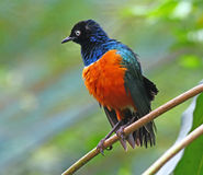 Supreme Starling front view. A beautifully coloured supreme starling taken at the KL Bird Park in Malaysia taken with front view stock photos