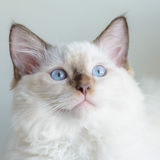 Suprised cat. Suprised kitty with blue eyes Royalty Free Stock Photos