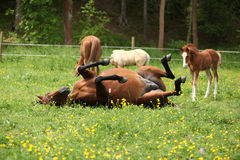 Suprised foal looking at roll around mare Royalty Free Stock Photo