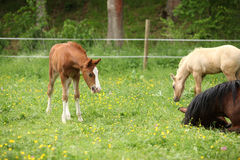Suprised foal looking at roll around mare Royalty Free Stock Photography