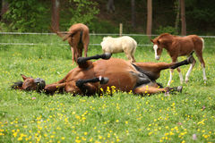 Suprised foal looking at roll around mare Stock Photography