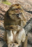 Surprised Monkey. Portrait of a monkey sitting with shocked face royalty free stock images