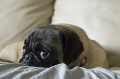 Suprised Pug Stock Image