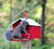 Suqirrel que intenta conseguir las semillas de girasol del alimentador Fotografía de archivo