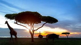 Suráfrica de la escena africana del safari de la noche de la silueta con los animales de la fauna