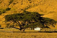 sur duży cyprysowy drzewo Zdjęcie Royalty Free