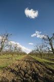 Sur körsbärsröd fruktträdgård på den tidiga vårståenden Royaltyfri Foto