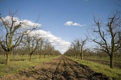 Sur körsbärsröd fruktträdgård på det tidiga vårlandskapet Arkivfoto