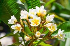 Sur l'île de Crète élevez les belles fleurs blanches Photo libre de droits