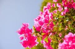 Sur l'île de Crète élevez les belles fleurs rouges Photographie stock libre de droits