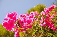 Sur l'île de Crète élevez les belles fleurs rouges Image libre de droits