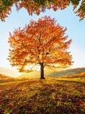 Sur la pelouse couverte de feuilles aux hautes montagnes il y a un arbre fort luxuriant gentil isol? Jour ensoleillé d'automne ma photo libre de droits